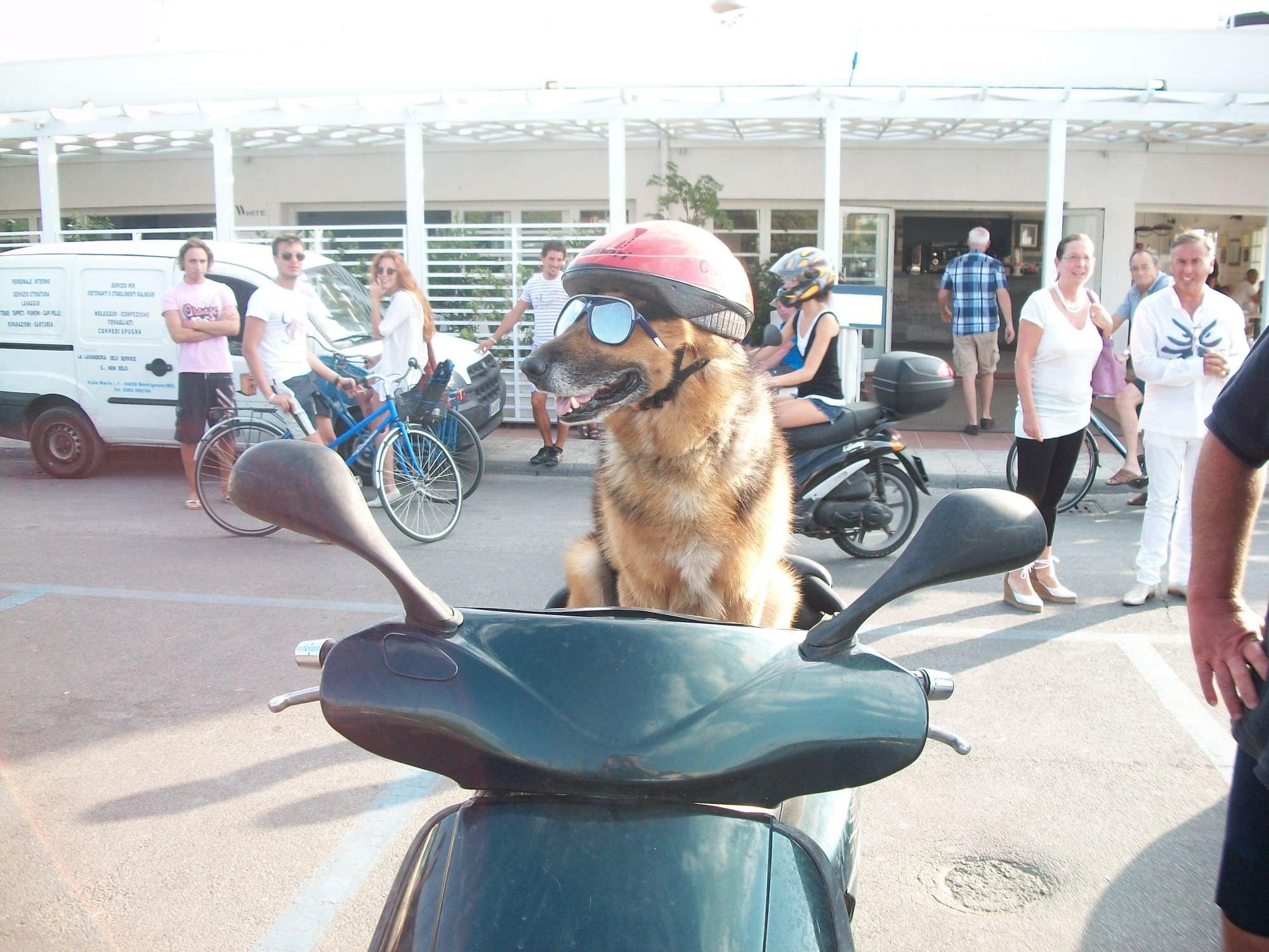 Un cane guida lo scooter for Puntura vespa cane