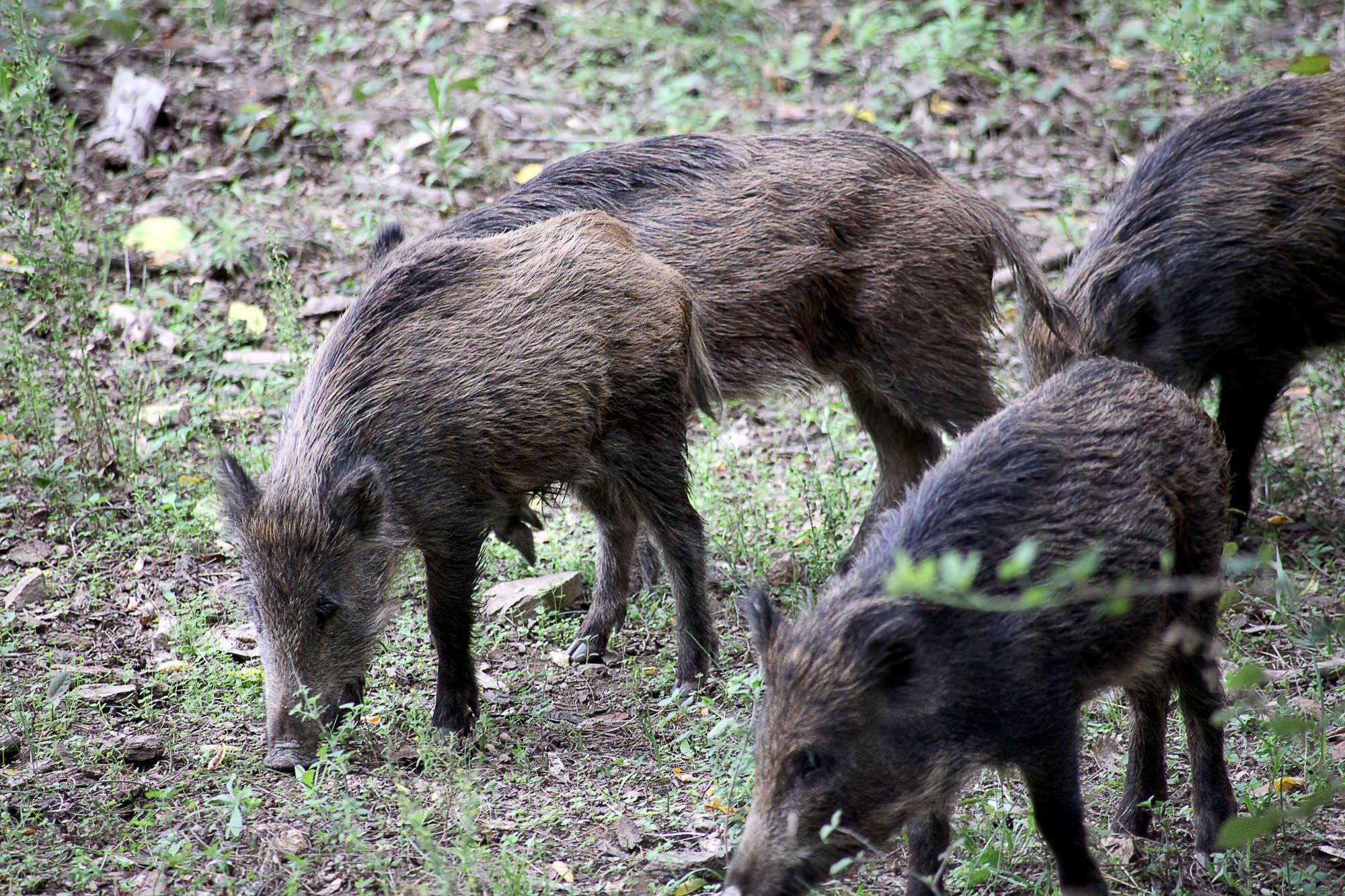 Fauna selvatica, Coldiretti Toscana: bene la delibera della Giunta, ma ora occorre riforma legge contro raid di cinghiali e piccioni