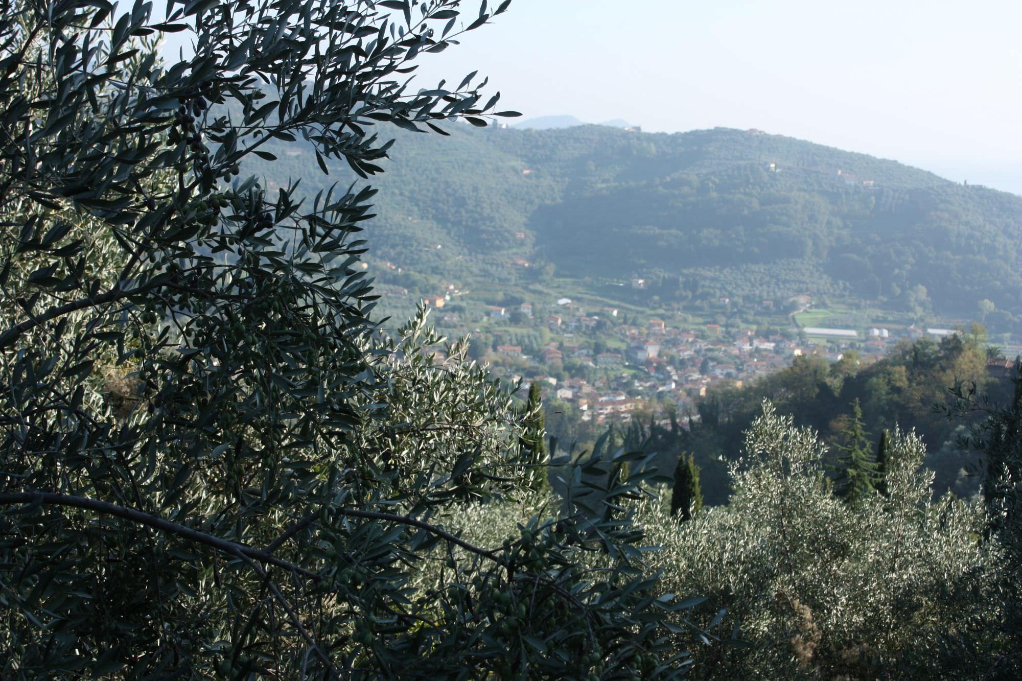 Cade da un olivo, grave a Massarosa