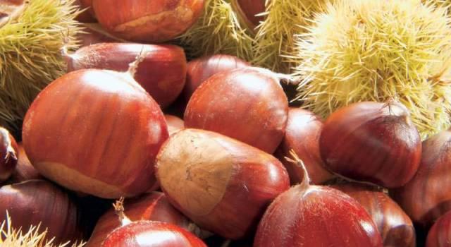 Castagne, raccolta nella media e qualità ottima in Versilia