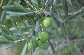 E le olive finiscono come concime…