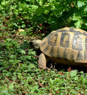 Da Livorno a Marina di Massa: tartarughe trasferite nell'oasi WWF