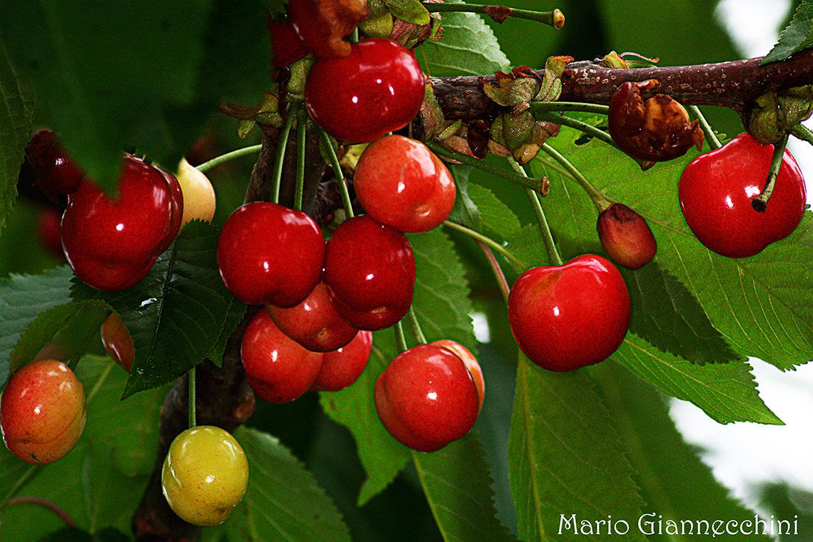 Piante da frutto per il giardino della scuola primaria for Piante da frutto in giardino
