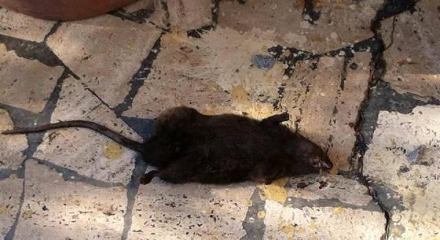 Invasione di topi nei canali di Bozzano, proteste dei cittadini