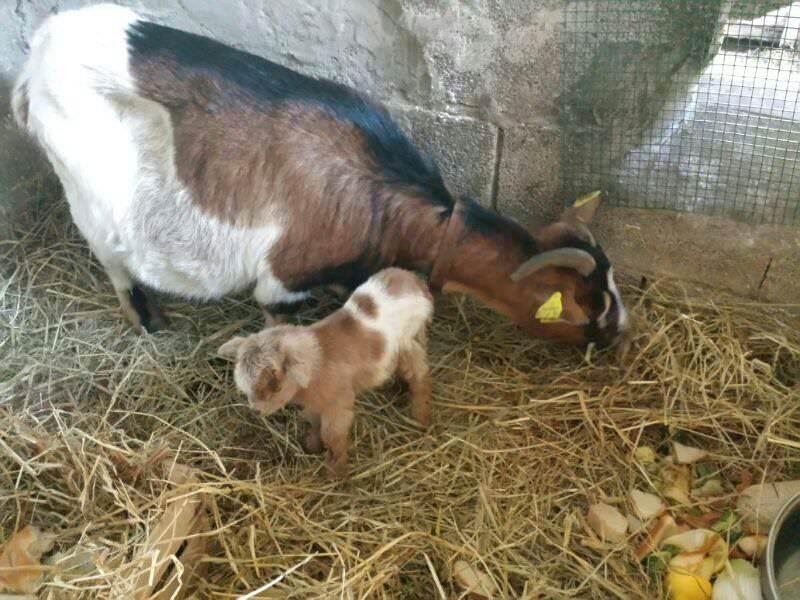 Nasce una capretta nella fattoria sociale. Gara sul web per darle un nome
