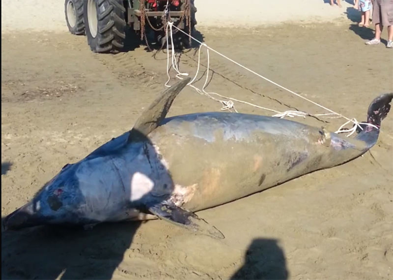 La moria di delfini non si arresta: 36mo caso da inizio anno