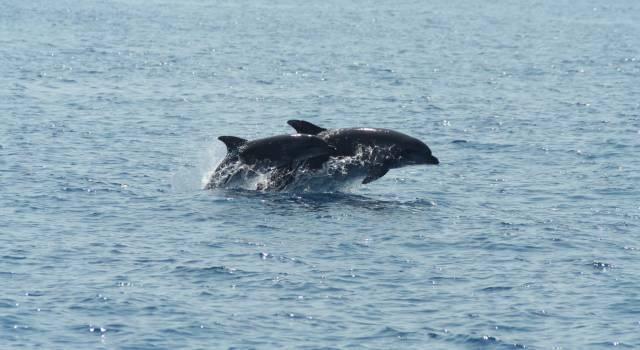 Santuario dei cetacei, il Parco aderisce al Partenariato Pelagos: le azioni in corso per proteggere balene e delfini