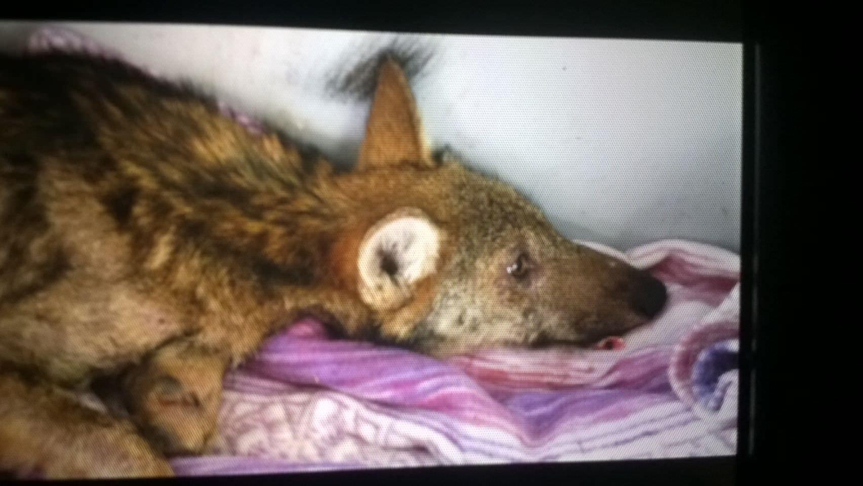 """Salvato un lupo di 4 mesi (le foto), i volontari: """"Sui monti c'è un intero branco"""""""
