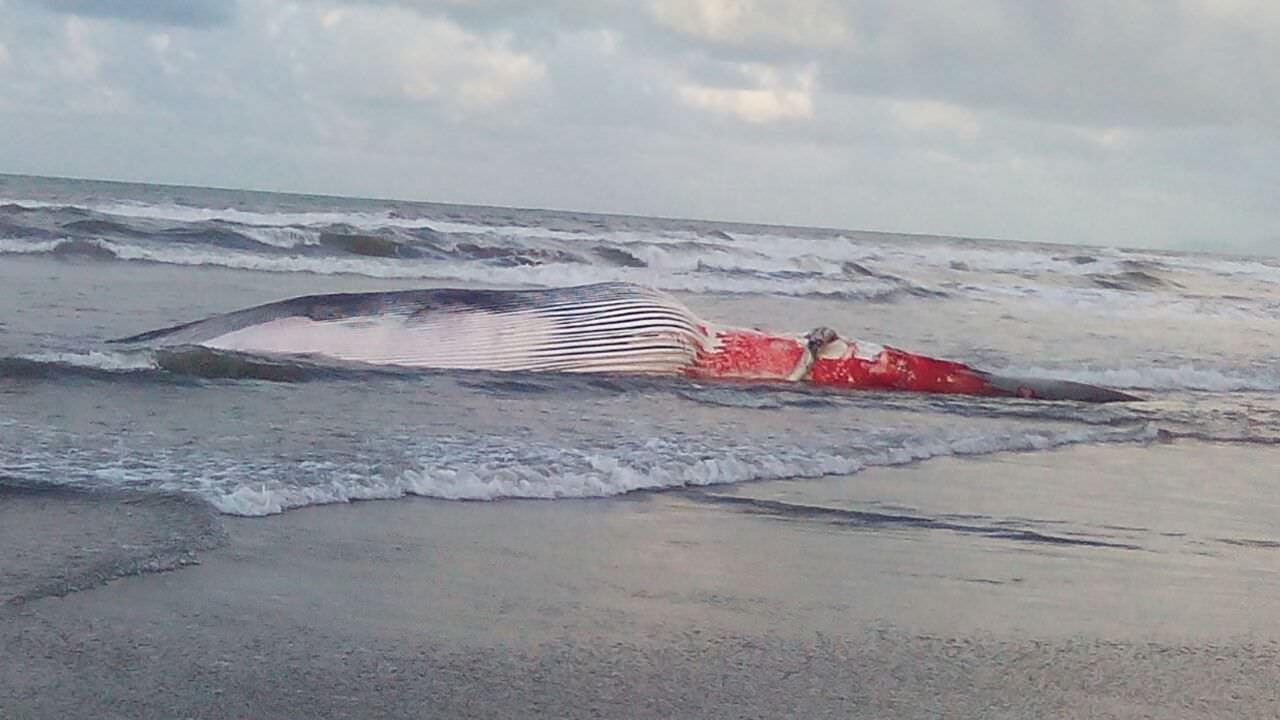 Carcassa di balena a Lido, nel 2014 spiaggiati in Toscana quasi 20 cetacei
