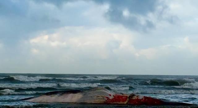 Balenottera spiaggiata a Lido di Camaiore