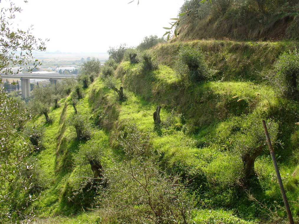Adotta un olivo, a Massarosa la soluzione contro l'abbandono delle colline