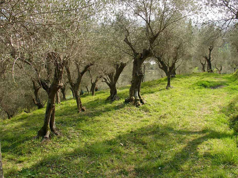 Olio: difendere le olive dalla terribile mosca olearia, un seminario a Viareggio
