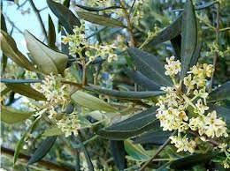 Mostra Mitoraj, allestimento in piazza con piante di olivo. Invitato anche il Ministro Franceschini