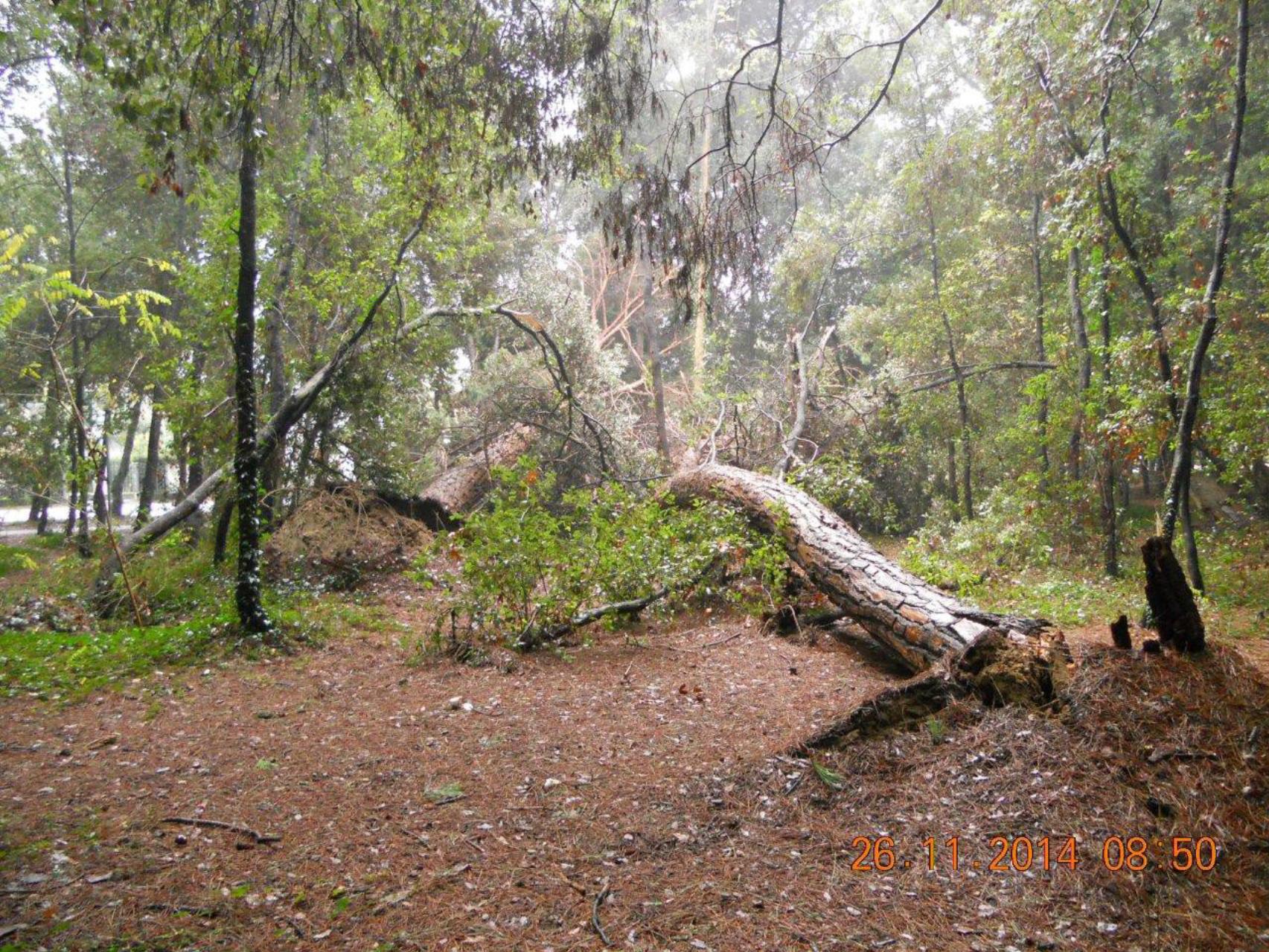 Da abbattere 32 pini pericolanti sul viale Apua