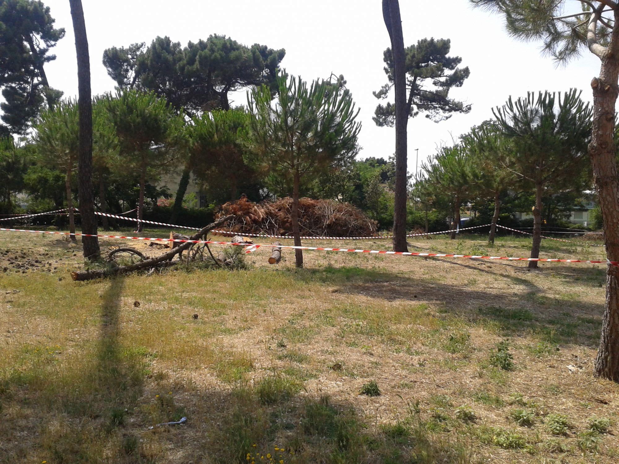 Legna a terra e rami secchi accatastati nella Pineta di Levante.