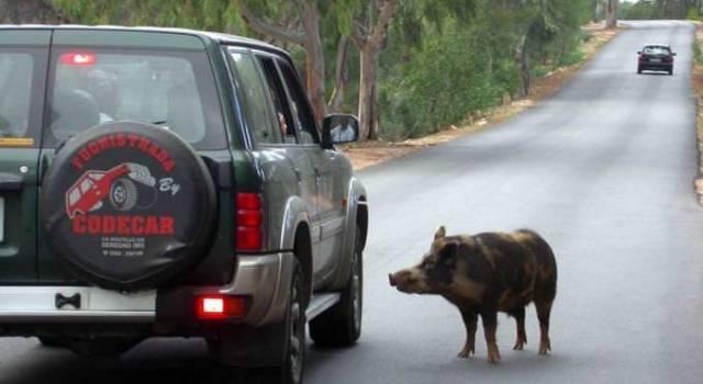 Sette cinghiali sulla Sarzanese, paura per un automobilista