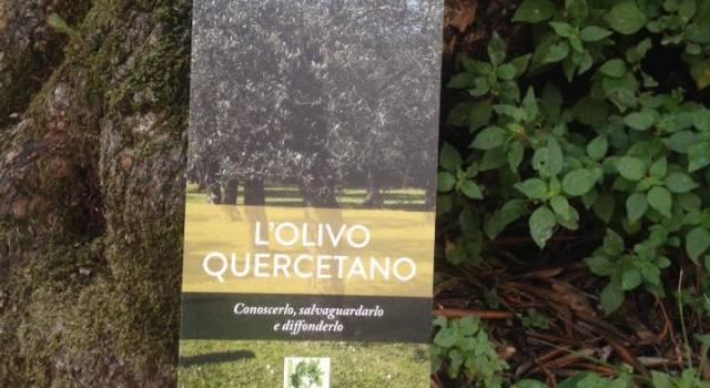 L'Olivo Quercetano, un tesoro da proteggere. A Spasso con Galatea