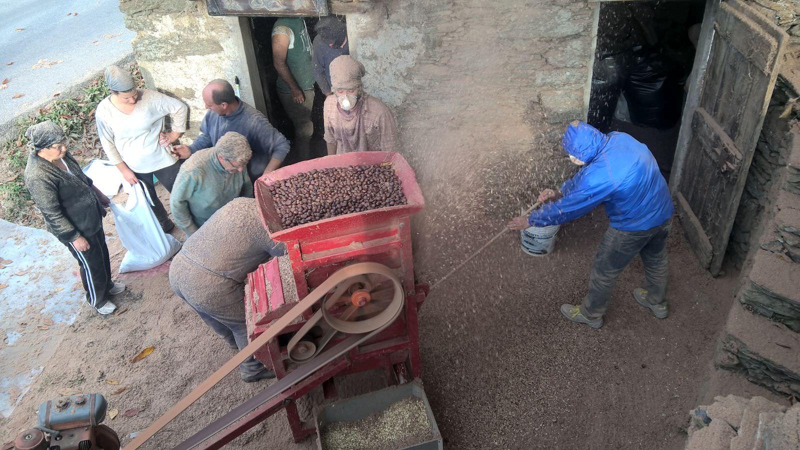 Quest'anno le castagne abbondano, e l'antico metato rivive