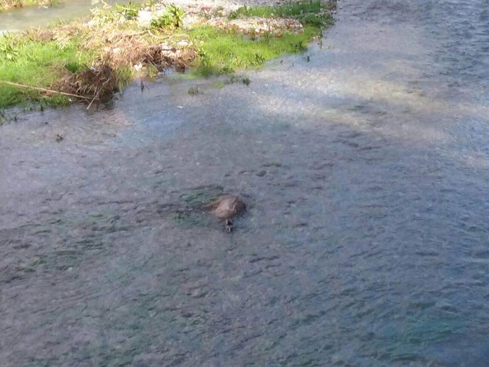 Rinvenuta nel fiume di Camaiore la carcassa di un capriolo