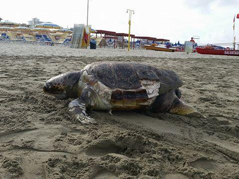 Carcassa di tartaruga marina sulla spiaggia accanto al Pontile di Marina di Pietrasanta