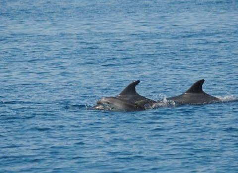 Area protetta per i delfini: sì della giunta. L'iter annunciato a Viareggio