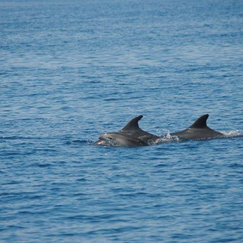 Avvistati cuccioli di delfini a Viareggio