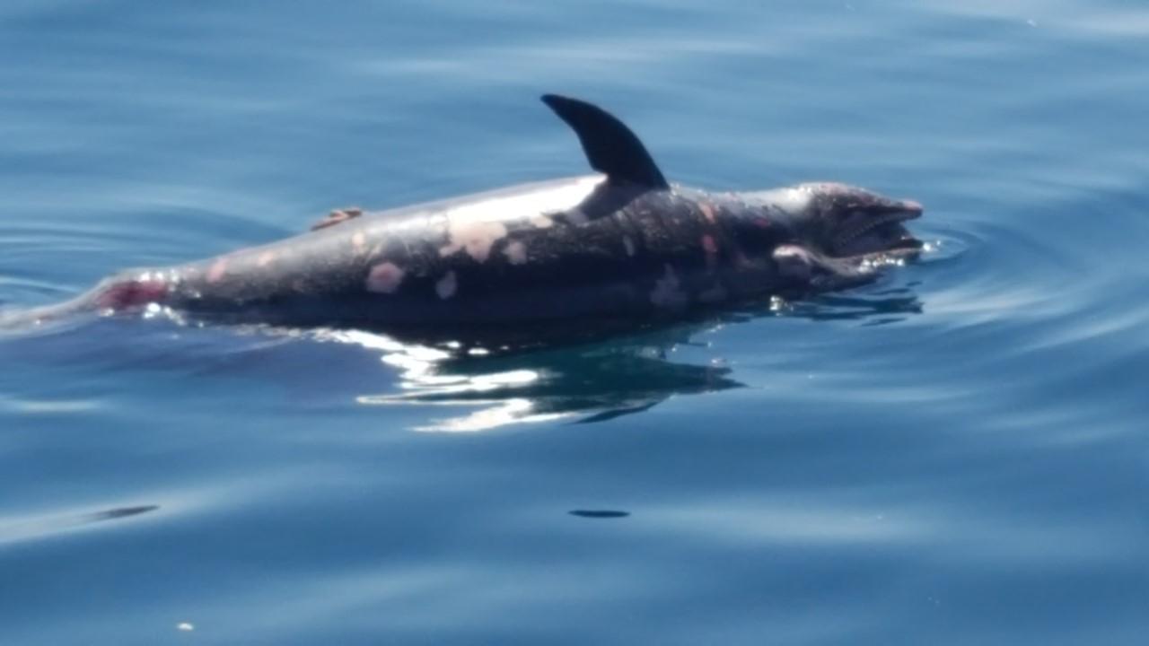 Delfini, prosegue la moria: carcassa trovata al largo del Cinquale