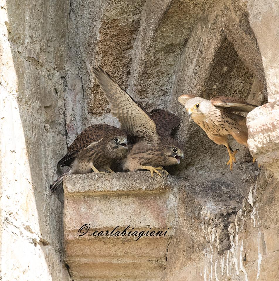 Quattro piccoli di gheppio. Sorpresa alla Lipu di Pisa