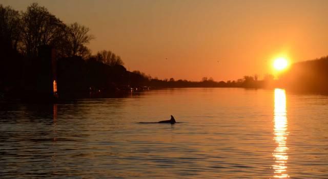 Salvato un delfino nell'Arno