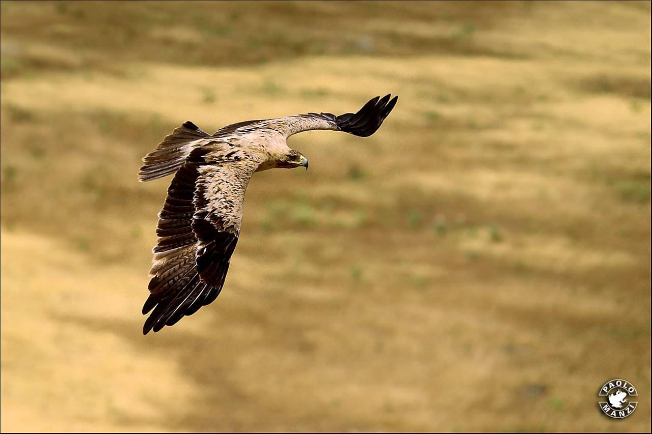 Avvistata nell'area del Massaciuccoli un Aquila Imperiale Iberica