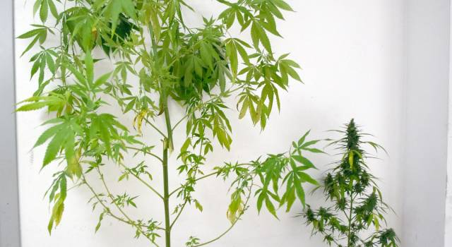 Coltiva marijuana sul terrazzo, denunciato viareggino