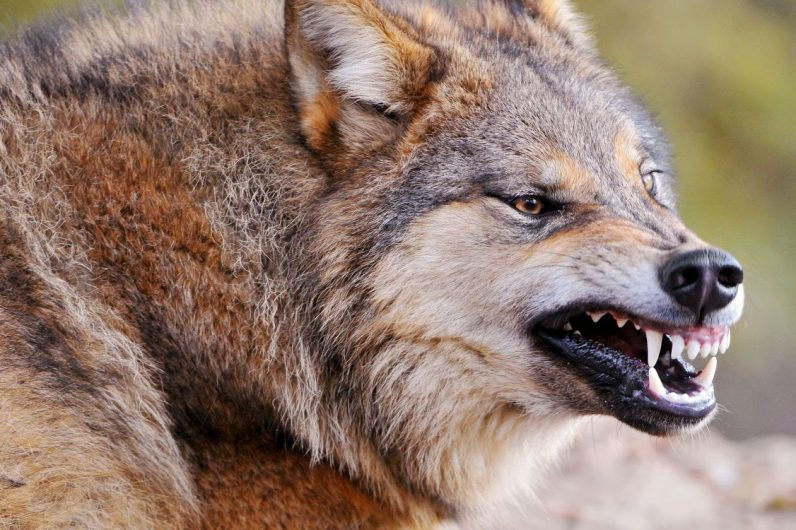 attacchi dei lupi