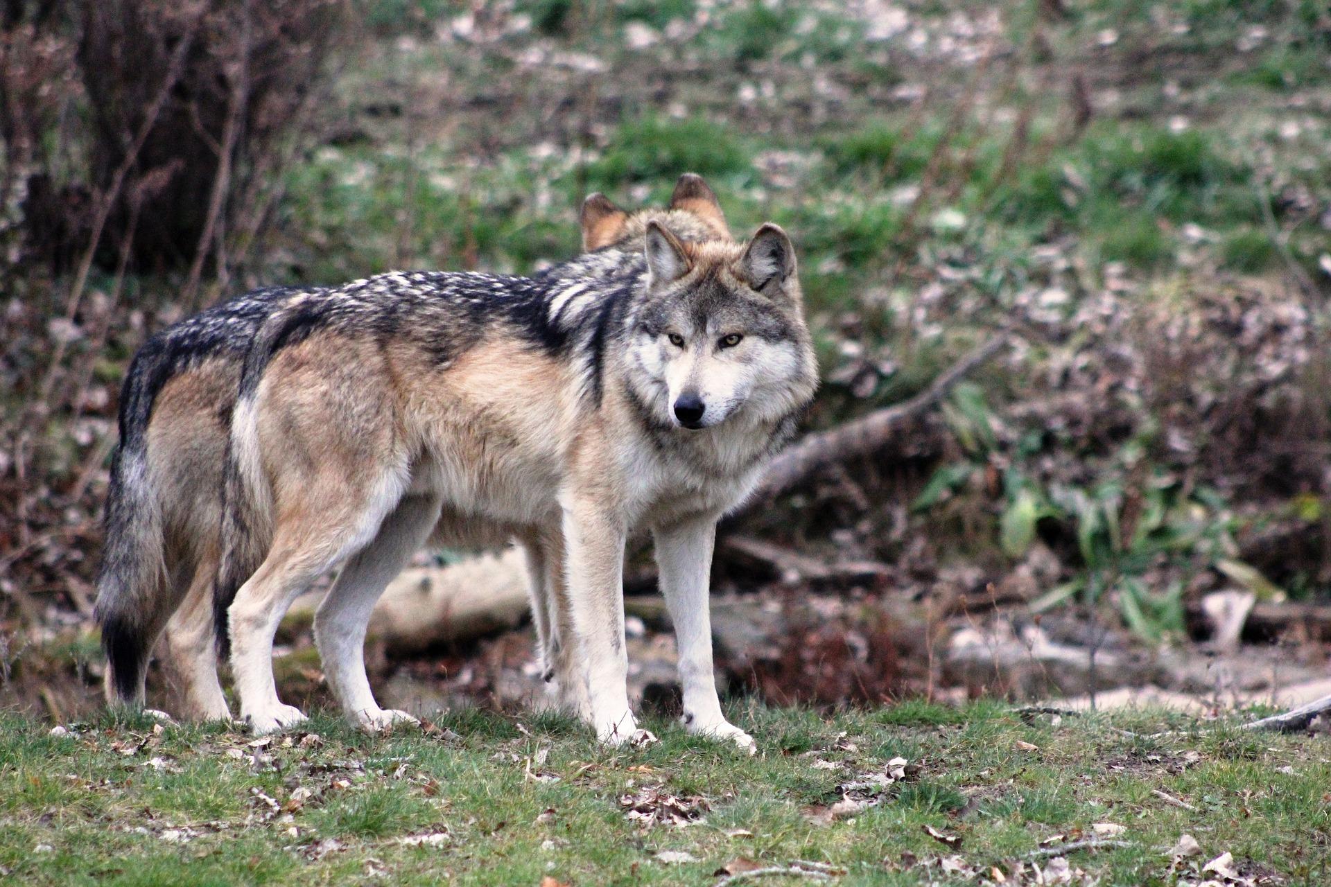 Un lupo tra le case, paura in Garfagnana