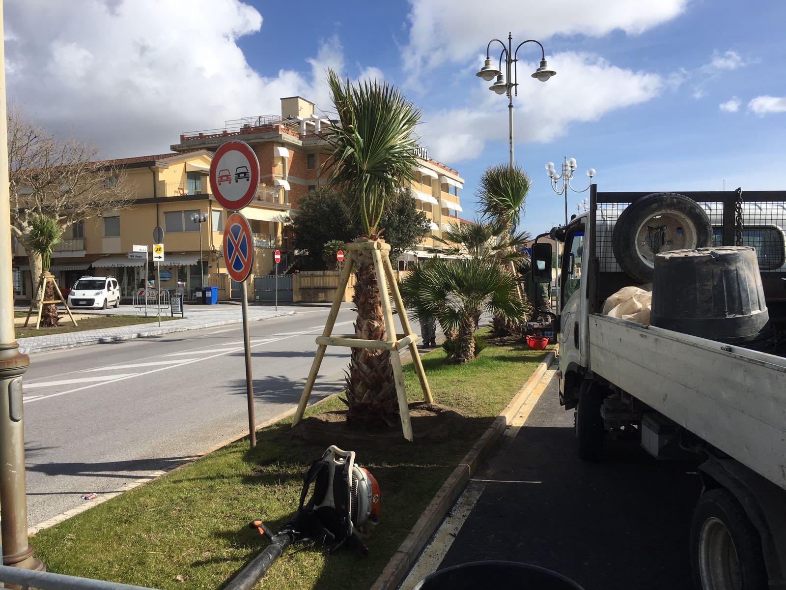 Ecco le nuove palme per il Viale Roma a Marina di Pietrasanta