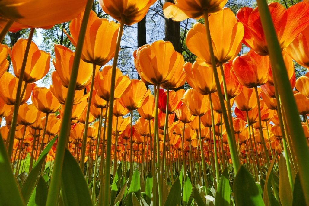 fioritura dei tulipani in Olanda