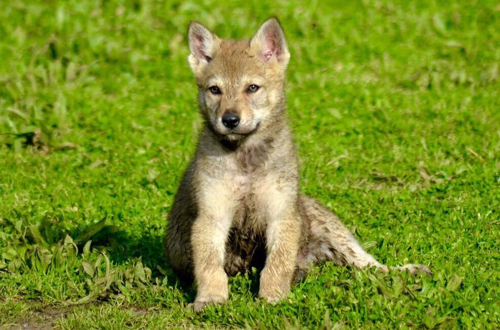 """Trova i suoi cuccioli di lupo cecoslovacco in vendita su un sito: """"E' un annuncio falso"""""""