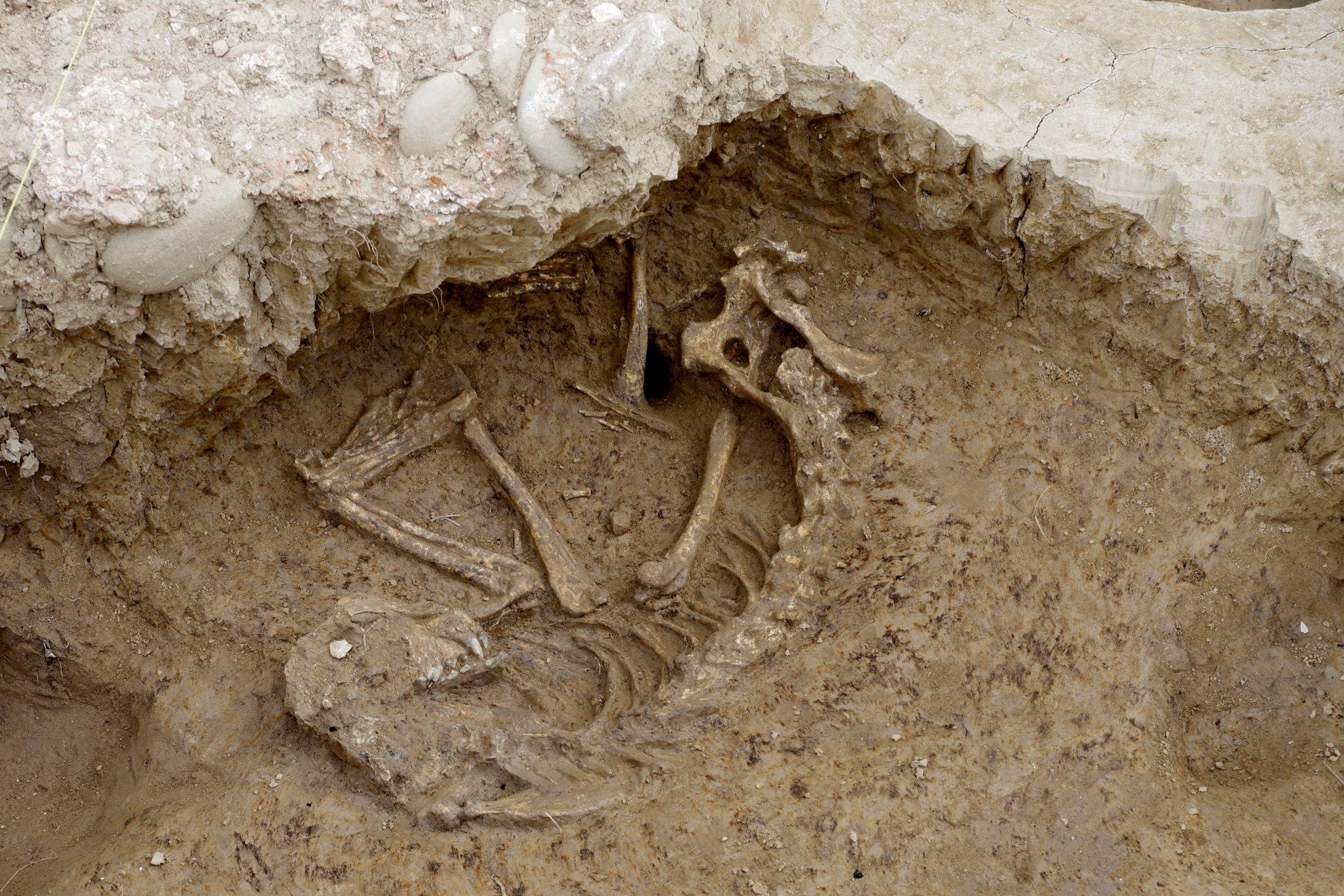 Cane sacrificato, dagli scavi archeologici emergono i resti: era sepolto da 2mila anni
