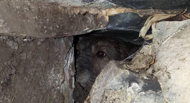 Si infilano nella tana dell'istrice, salvati 3 cani da caccia