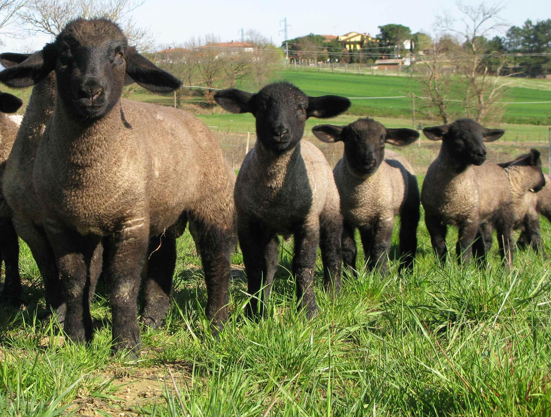 San Biagio: nella vecchia fattoria di Piazza Matteotti, ci sono anche l'Alpaca peruviano e la pecora scozzese