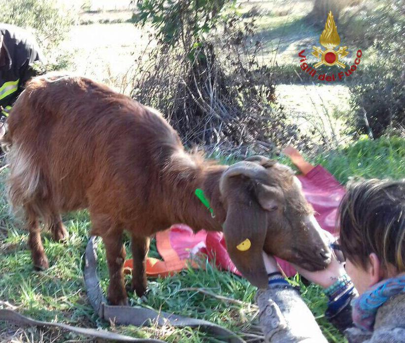 Salvata dai pompieri, la piccola capra era caduta in un burrone