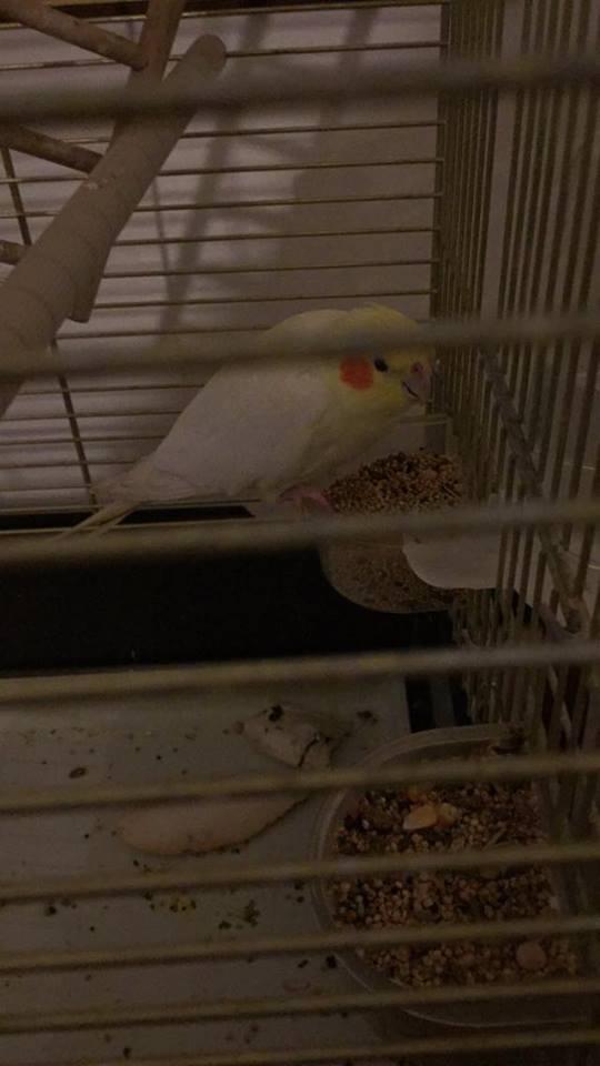 """La pappagalla scomparsa da due giorni recuperata in pineta dai Vigili del Fuoco: """"Grazie"""""""