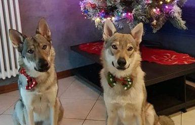 Gettati nel fiume dopo avergli sparato: i due lupi cescolovacchi erano nati a Lido di Camaiore