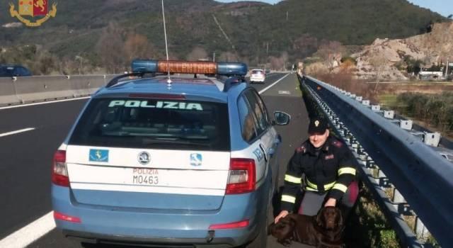 Cane fugge da casa e finisce sull'A/11: la Polstrada lo riaffida al proprietario