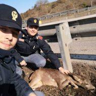 Trovato per strada con le zampe spezzate, capriolo abbattuto dal veterinario: le ultime carezze dei poliziotti