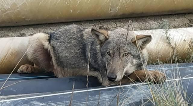 Liberati sull'Amiata Athos e Porthos, i due lupi curati all'Ospedale veterinario dell'Università di Pisa