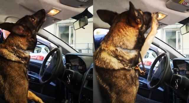 Cocaina dentro la luce di cortesia dell'autovettura, il nascondiglio è stato scovato dai cani antidroga della Polizia di Stato