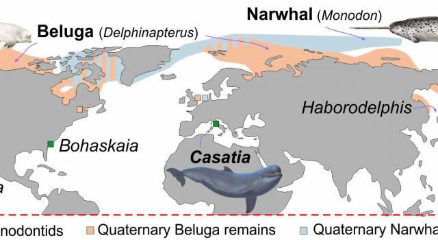 """Gli antenati del Beluga e del Narvalo, odierni """"signori dei ghiacci"""", vivevano nelle acque tropicali del Mediterraneo"""