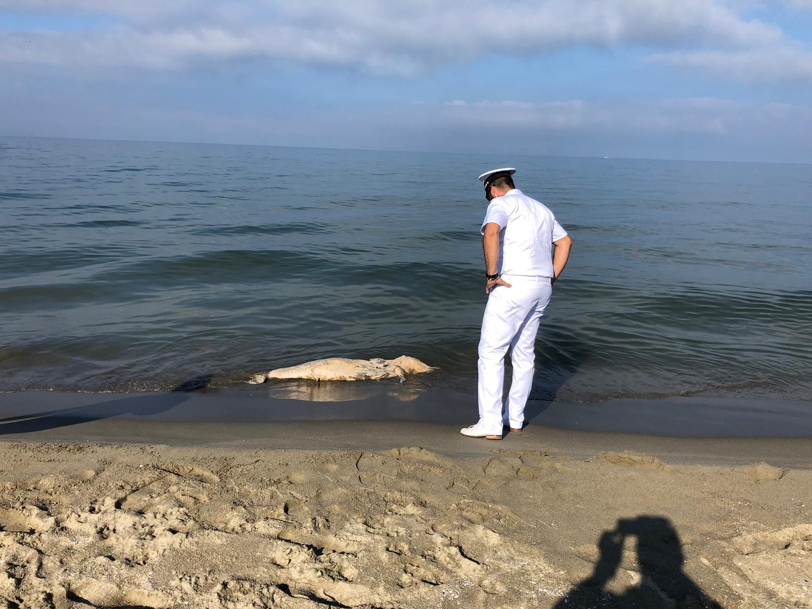 Delfino morto alla Lecciona, era in avanzatisssimo stato di decomposizione