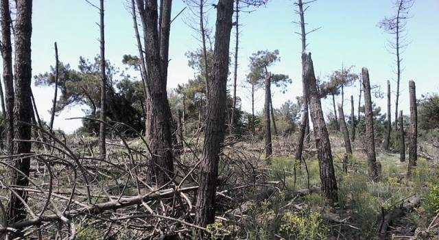 Via al rimboschimento della Bufalina, saranno piantate oltre 1100 piante di ginepro, ricreando nella zona l'habitat naturale delle dune