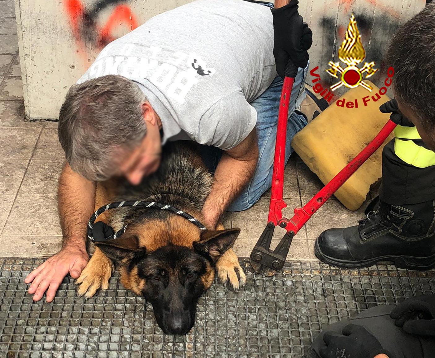Incastrato con le zampe in una grata, pastore tedesco salvato dai pompieri